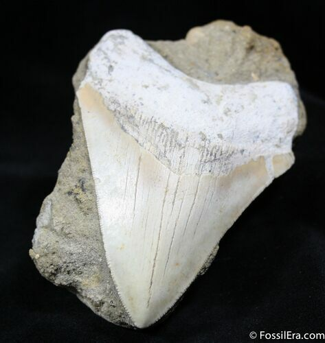 4.13 Inch Summerville Meg Tooth In Matrix