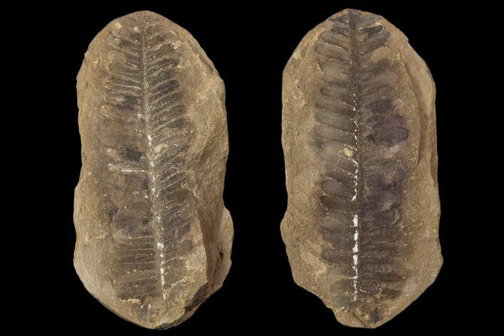"3.1"" Pecopteris Fern Fossil (Pos/Neg) - Mazon Creek"