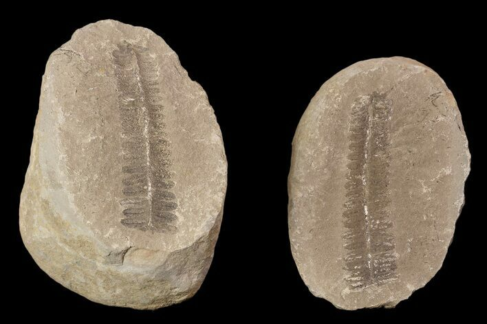 "3.3"" Pecopteris Fern Fossil (Pos/Neg) - Mazon Creek"