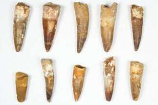 "Buy Wholesale Lot: 1.5-2.5"", Bargain Spinosaurus Teeth - 10 Pieces - #87841"