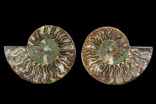 "4.35"" Cut & Polished Ammonite Fossil - Crystal Chambers For Sale, #88205"