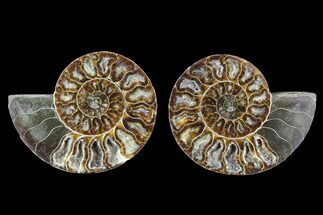 "4.5"" Cut & Polished Ammonite Fossil - Agatized For Sale, #88211"