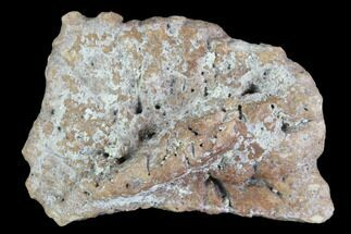 "Buy 1.15"" Fossil Phytosaur Scute - Arizona - #88597"