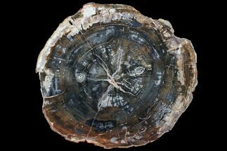 "Buy 13"" Colorful Petrified Wood (Araucaria) Round - Madagascar  - #88705"