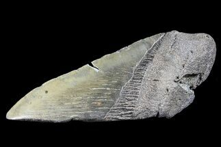 "Buy 4.9"" Partial Fossil Megalodon Tooth - #88642"