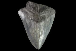 "Buy Partial, 3.82"" Fossil Megalodon Tooth - Serrated Blade - #88993"
