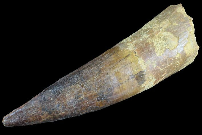 "Bargain, 3.98"" Real Spinosaurus Tooth - Composite Tip"