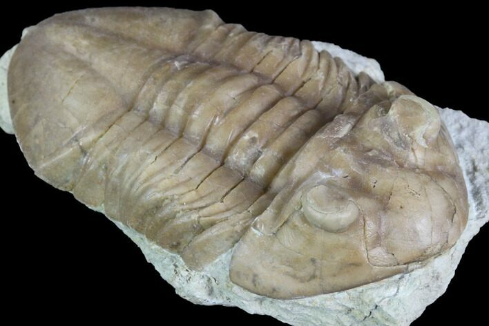 "2.05"" Asaphus (New Species) Trilobite - Russia"