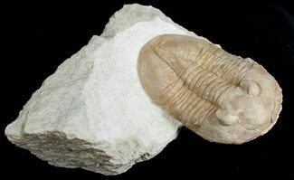Pseudoasaphinus gostilicyensis - Fossils For Sale - #6456