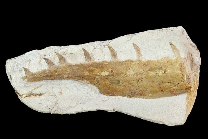 "3.8"" Mosasaur (Tethysaurus) Jaw Section  - Goulmima, Morocco"