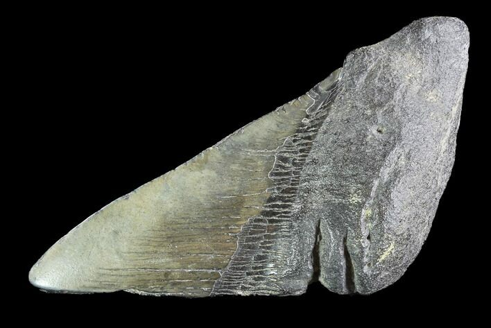 "5.4"" Partial Fossil Megalodon Tooth"