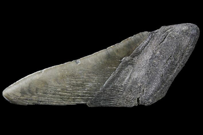 "5.5"" Partial Fossil Megalodon Tooth"