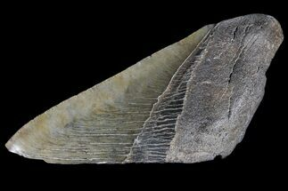 "4.92"" Partial Fossil Megalodon Tooth For Sale, #89456"