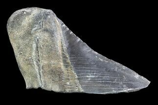 "4.28"" Partial Fossil Megalodon Tooth  For Sale, #89474"