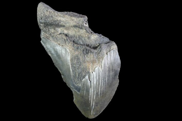 "Partial, 3.88"" Fossil Megalodon Tooth"