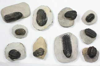 Wholesale Lot: Assorted Devonian Trilobites - 10 Pieces For Sale, #84731