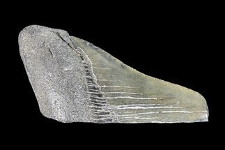 "Partial, 3.42"" Fossil Megalodon Tooth  For Sale, #89399"