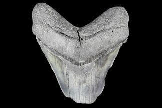 "Partial, 3.24"" Fossil Megalodon Tooth For Sale, #89417"