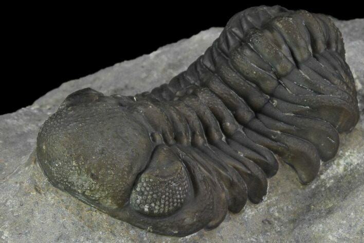 "2"" Detailed Austerops Trilobite - Beautiful Eyes"