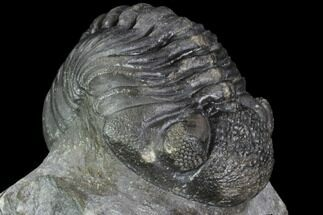 "2.4"" Pedinopariops Trilobite - Mrakib, Morocco For Sale, #89516"