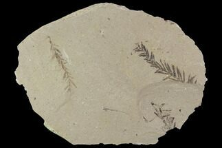 Metasequoia (Dawn Redwood) - Fossils For Sale - #89397