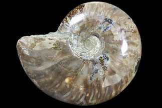 Cleoniceras - Fossils For Sale - #89622