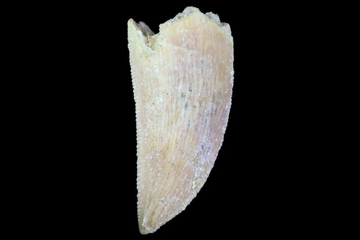 "Serrated, .9"" Raptor Tooth - Real Dinosaur Tooth"