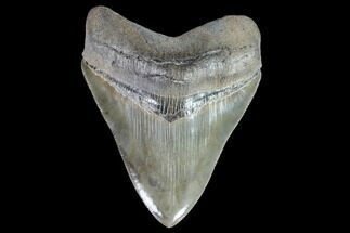 "Buy Serrated, 4.31"" Fossil Megalodon Tooth - Collector Quality - #90151"