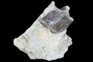 "Buy 1.6"" Hyracodon (Running Rhino) Molar - South Dakota - #90283"