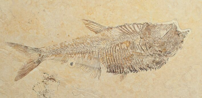 "5.0"" Diplomystus Fossil Fish - Wyoming"