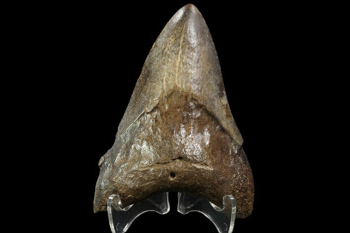 "3.49"" Fossil Megalodon Tooth - Georgia"