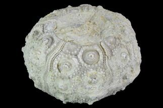 "1.3"" Detailed Nenoticidaris Fossil Urchin - Morocco For Sale, #90410"