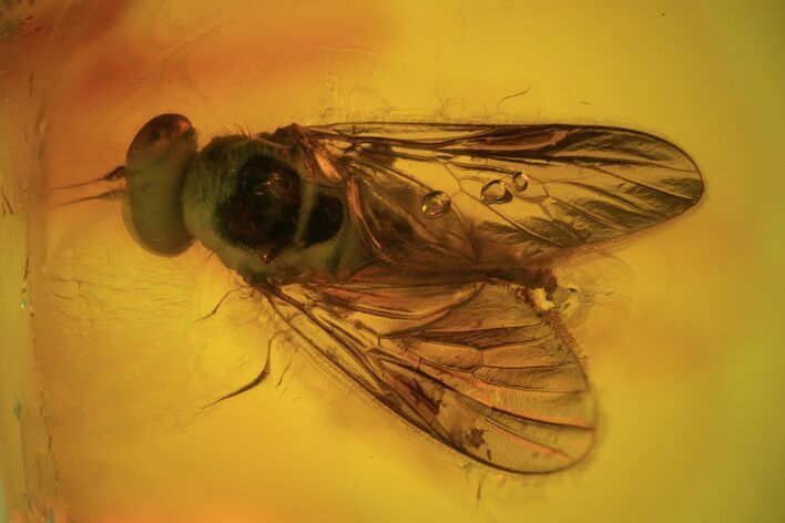 Detailed Fossil Fly (Rhagonidae) In Baltic Amber