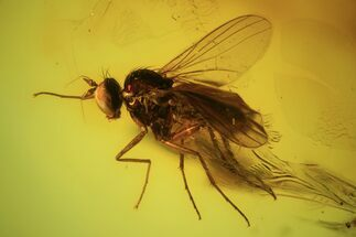 Two Detailed Fossil Flies (Diptera) In Baltic Amber  For Sale, #90803