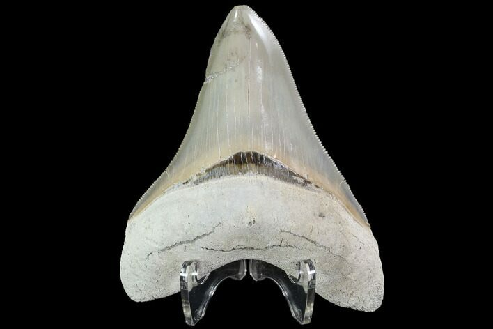 "Serrated, 4.29"" Aurora Megalodon Tooth - Beautiful Enamel"