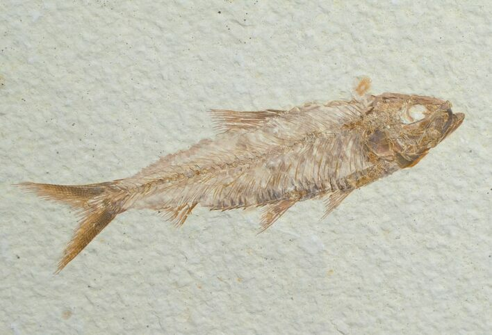 "3.2"" Knightia Fish Fossil - Wyoming"