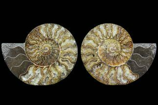 Cleoniceras - Fossils For Sale - #91158