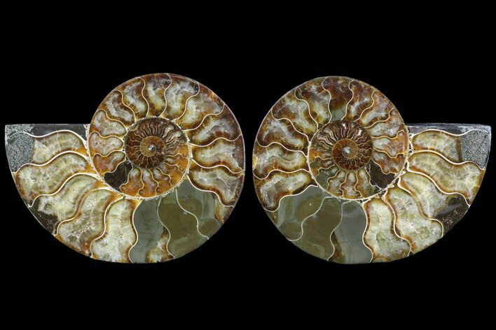"5.85"" Cut & Polished Ammonite Fossil - Agatized"