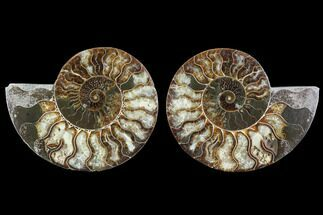 "Buy 5.25"" Cut & Polished Ammonite Fossil - Agatized - #91162"