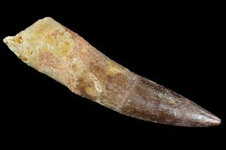"2.06"" Spinosaurus Tooth - Partial Root For Sale, #91289"
