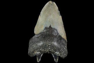 "Buy Bargain, 4.02"" Fossil Megalodon Tooth - North Carolina - #91642"