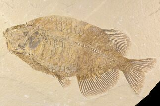 "Buy Elegant, 14.6"" Phareodus Fish Fossil - Wyoming - #91747"
