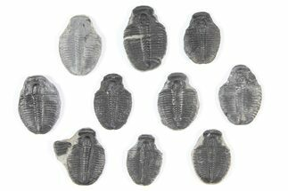 Elrathia kingii - Fossils For Sale - #92058