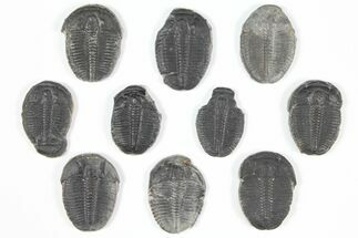 Elrathia kingii  - Fossils For Sale - #92079