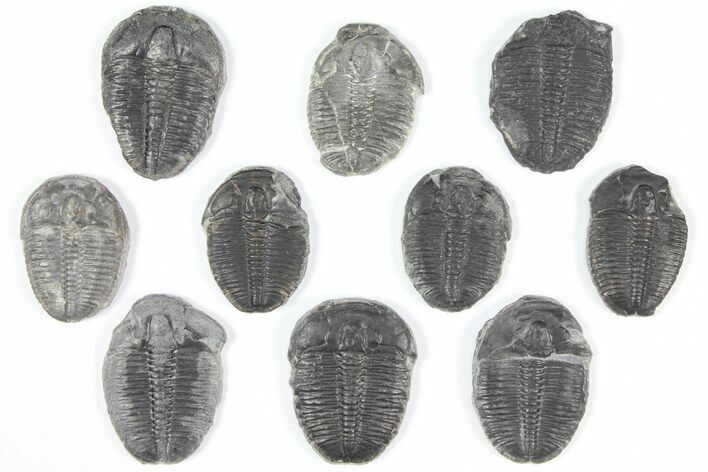 "Wholesale Lot: 1-1.25"" Elrathia Trilobites - 10 Pieces"
