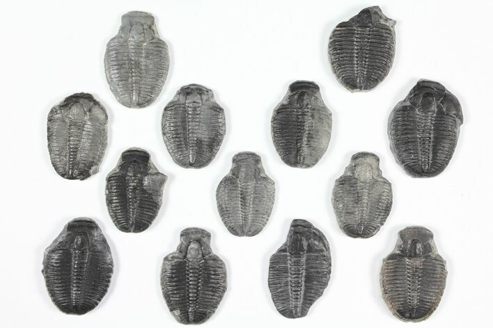 "Wholesale Lot: 1"" Elrathia Trilobite Molt Fossils - 13 Pieces"