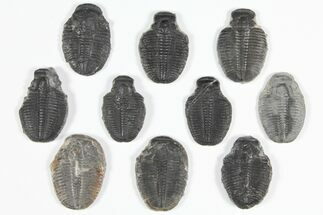 "Wholesale Lot: 1.25 to 1.5"" Elrathia Trilobite Fossils - 10 Pieces For Sale, #92135"