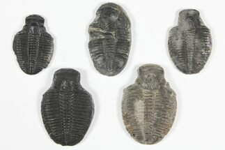 Elrathia kingii - Fossils For Sale - #92142