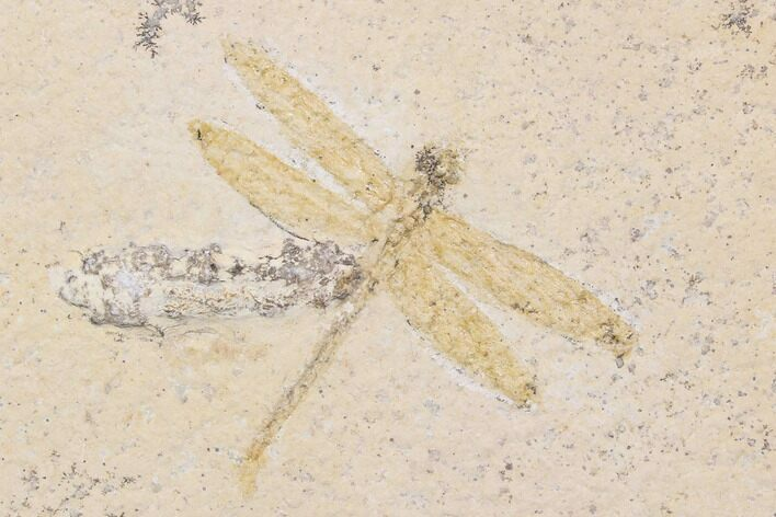 "1.9"" Fossil Dragonfly With Coprolite (Pos/Neg) - Germany"