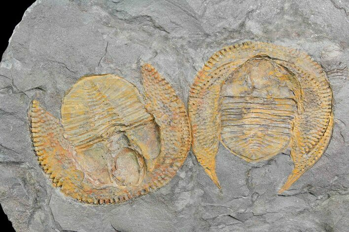 Two Orange Declivolithus Trilobite (Pos/Neg Split) Morocco